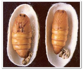 Silkworm, Chinese Silk